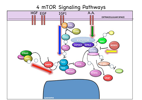 Chart showing 4 mTOR Signaling Pathways